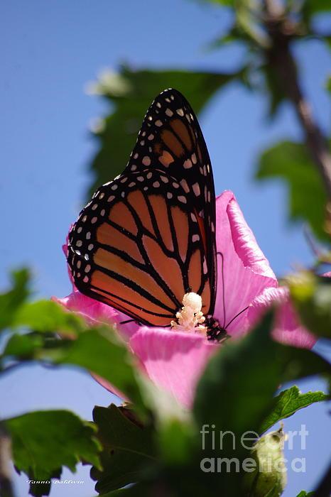 Monarch 2 Print by Tannis  Baldwin