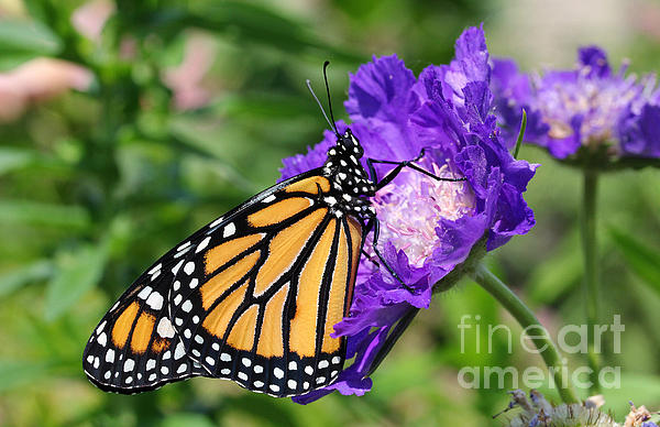 Monarch And Pincushion Flower Print by Steve Augustin