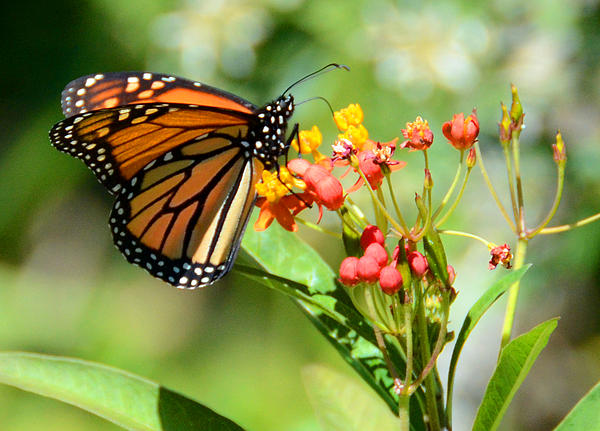 Monarch Butterfly 3 Print by Julie Cameron