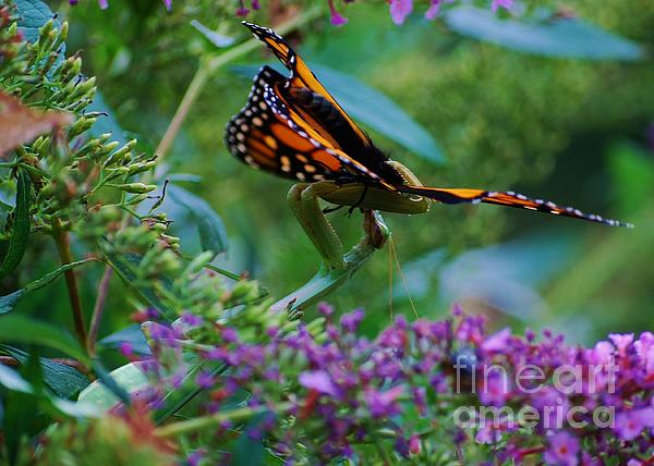 Monarch Butterfly Down Print by Joy Bradley