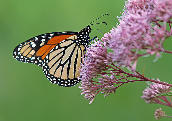 Monarch Butterfly Photography Print by Juergen Roth