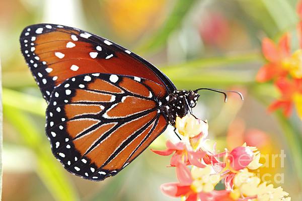 Monarch II Print by Pamela Gail Torres
