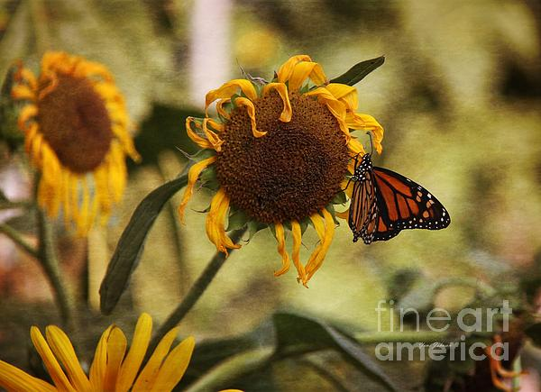 Monarch On The Sunflower Print by Yumi Johnson