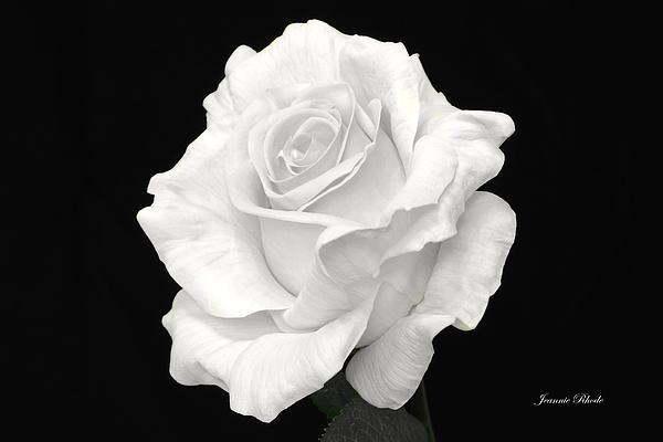 Jeannie Rhode Photography - Monochrome Rose