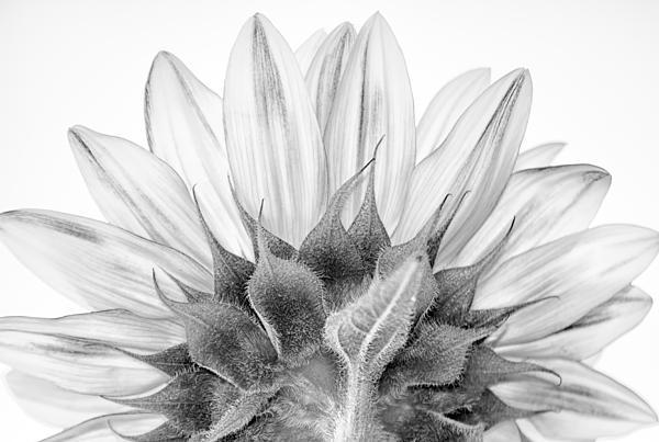 Stylianos Kleanthous - Monochrome Sunflower