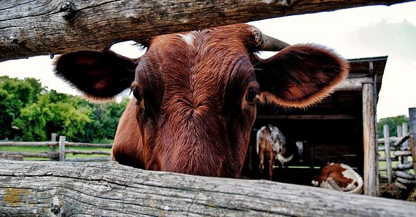 Mooo I See You Print by Todd and candice Dailey