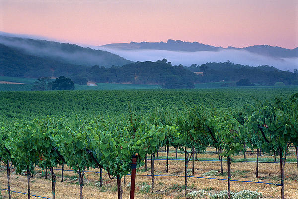 Morning Fog Over Vineyards In The Alexander Valley Print by Gary Crabbe