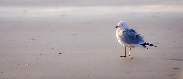 Morning Gull Print by Kelly McNamara