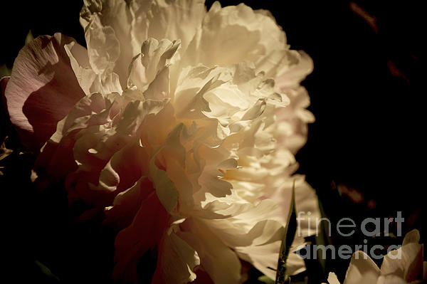 Elaine Mikkelstrup - Morning Light on Peony