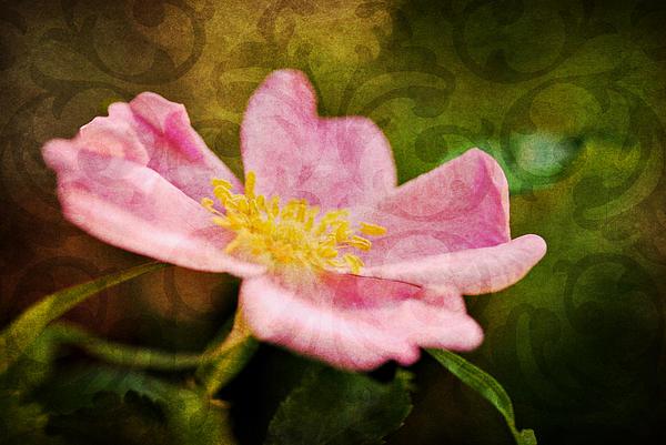 Morning Rose Print by Kelly Nowak