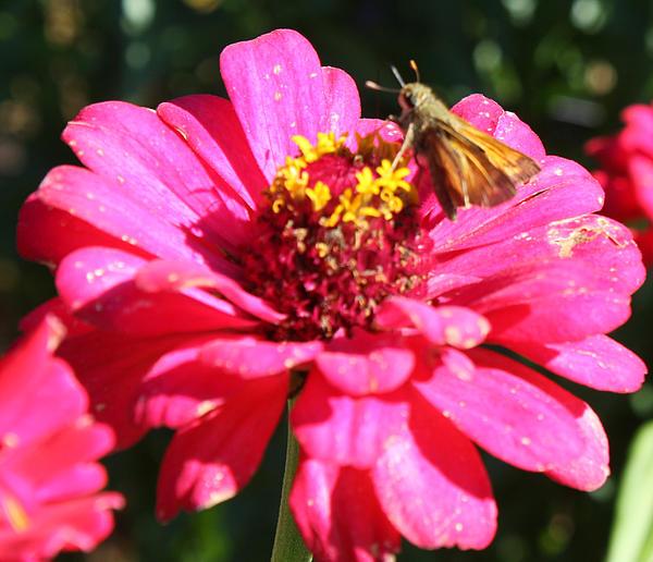 John Telfer - Moth Feeding on Flower