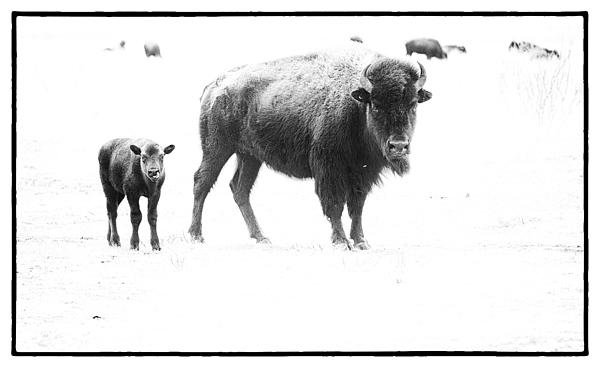Mother Bison And Her Calf Print by Melany Sarafis