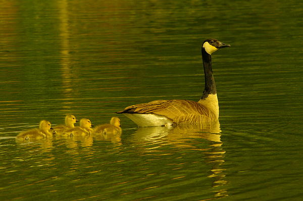 Jeff  Swan - Mother Goose And Four Goslings