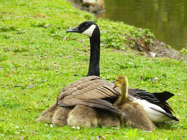 Mother Goose Print by Bruce Brandli