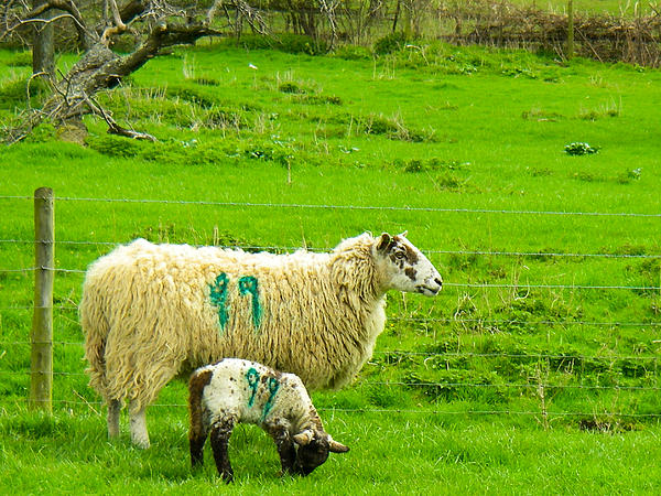 Mother Sheep And Lamb In Pasture Near Broadway Towers On A Hike On The Cotswold Way England Print by Robert Ford
