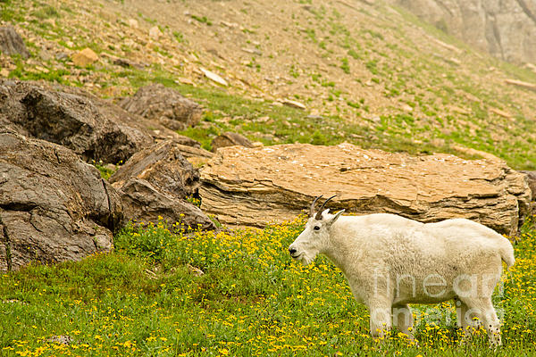 Mountain Goat In The Mountains Print by Natural Focal Point Photography