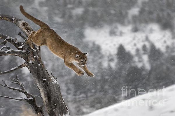 Wildlife Fine Art - Mountain Lion - Silent Escape