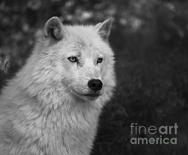 Download image Mr Arctic Wolf Print By Nina Stavlund PC, Android