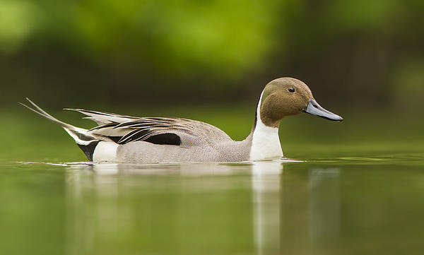 Mr Pintail  Print by Mircea Costina Photography