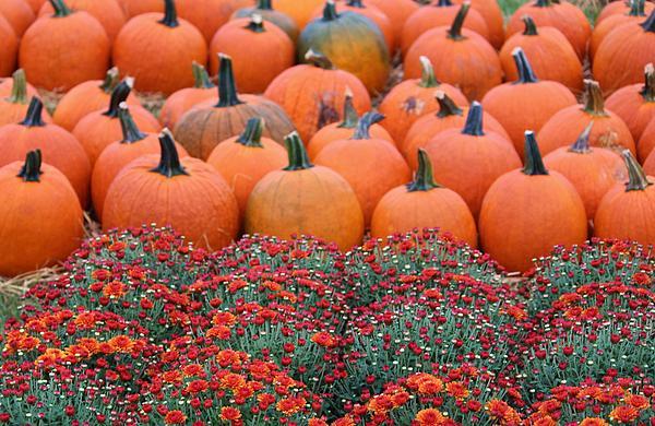 Cynthia Guinn - Mums And Pumpkins