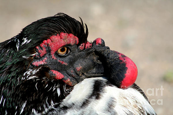 Muscovy Duck With Wattle Print by Bob and Jan Shriner