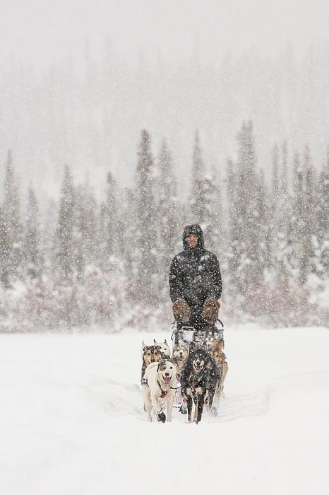 Mushing Through A Snow Storm Print by Tim Grams