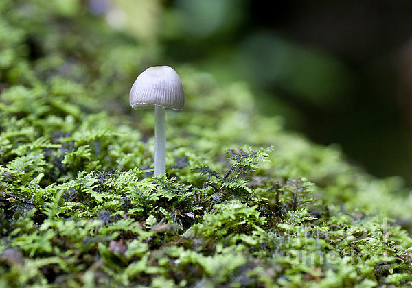 Mushroom Print by Steven Ralser