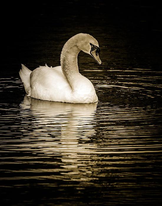 Mute Swan II Print by Jim Nelson