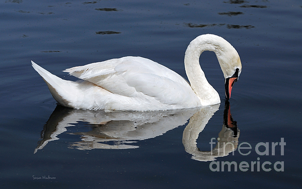 Mute Swan Kissing Its Reflection Print by Susan Wiedmann
