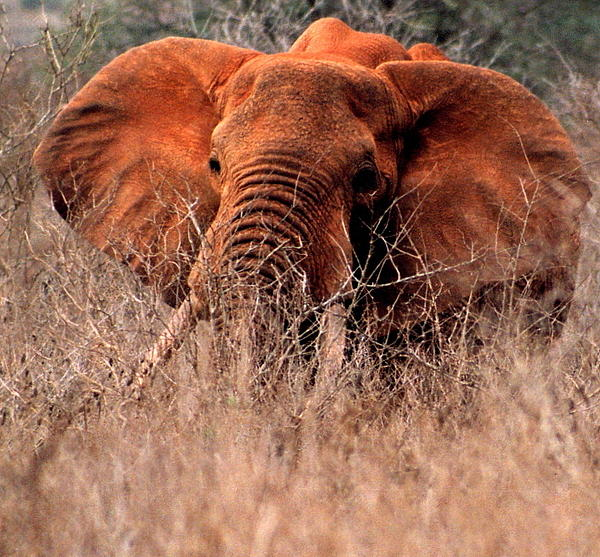 Phyllis Kaltenbach - My Elephant in Africa
