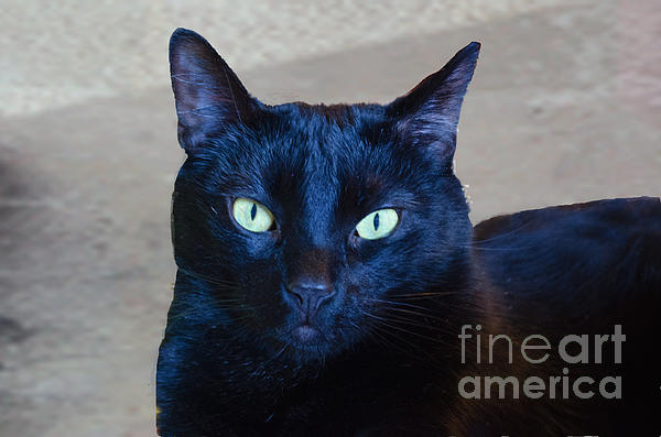 Mysterious Black Cat Print by Luther   Fine Art