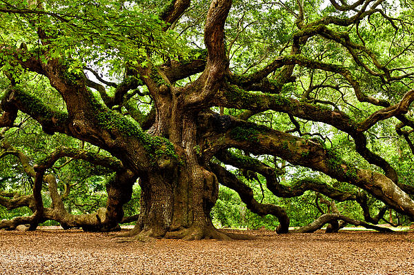 Mystical Angel Oak Tree Print by Louis Dallara