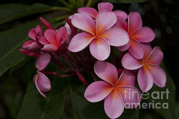Na Lei Pua Melia O Wailua - Pink Tropical Plumeria Hawaii Print by Sharon Mau