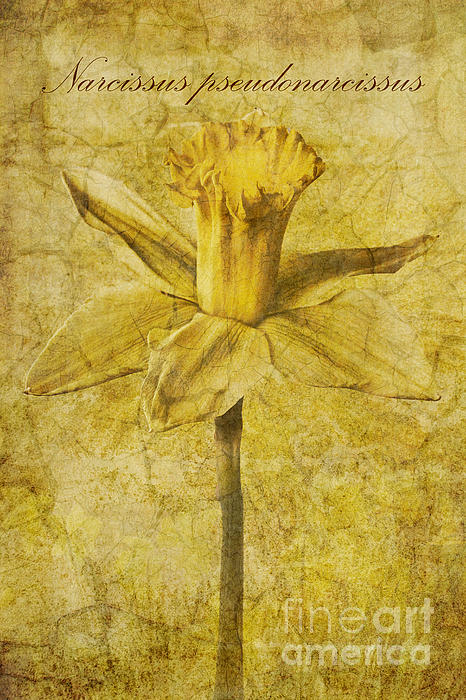 Narcissus Pseudonarcissus Print by John Edwards