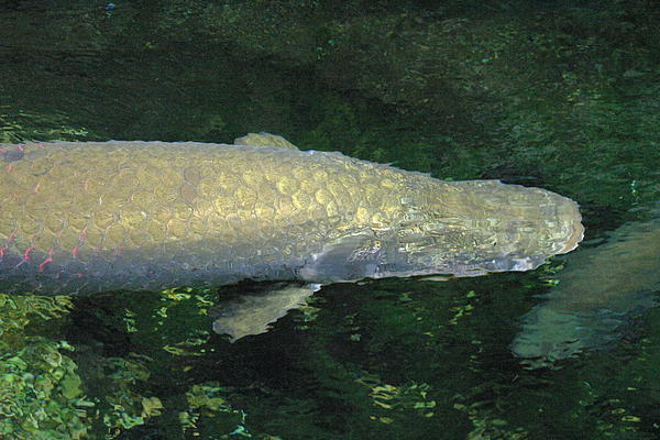 National Zoo - Fish - 12125 Print by DC Photographer