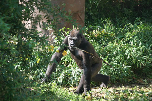 National Zoo - Gorilla - 121220 Print by DC Photographer
