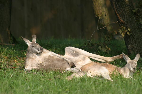 National Zoo - Kangaroo - 12124 Print by DC Photographer
