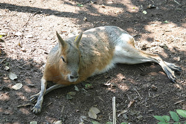 National Zoo - Kangaroo - 12126 Print by DC Photographer