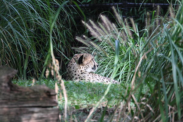 National Zoo - Leopard - 01131 Print by DC Photographer