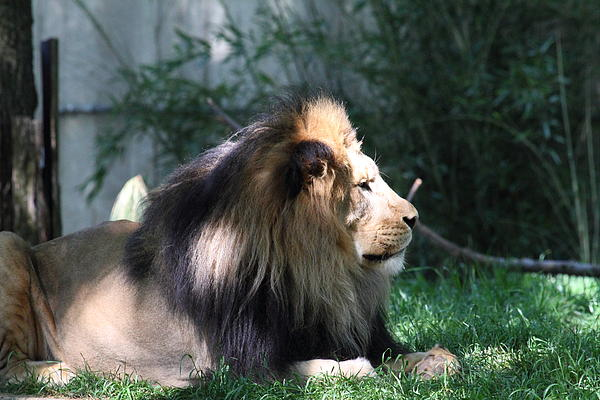National Zoo - Lion - 011318 Print by DC Photographer