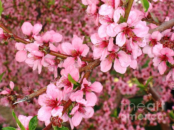 Nectarine Blossoms Print by Polly Anna