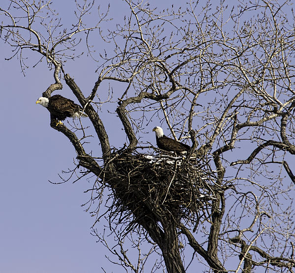 Nesting Pair Of American Bald Eagles 1 Print by Thomas Young