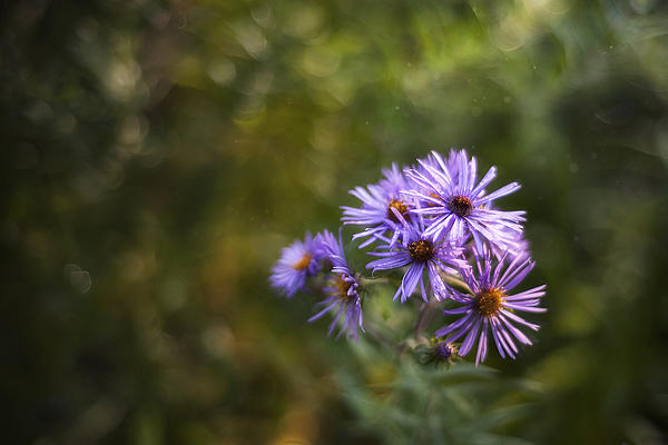Scott Norris - New England Asters