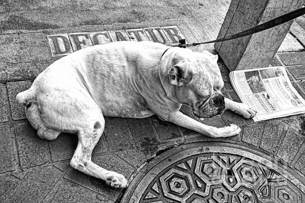 Newsworthy Dog In French Quarter Black And White Print by Kathleen K Parker