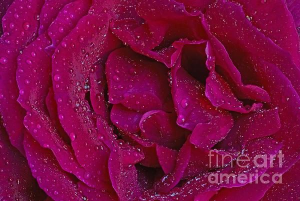 Nick's Rose Macro Print by Nick  Boren