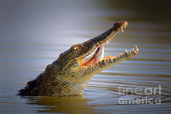 Nile Crocodile Swollowing Fish Print by Johan Swanepoel