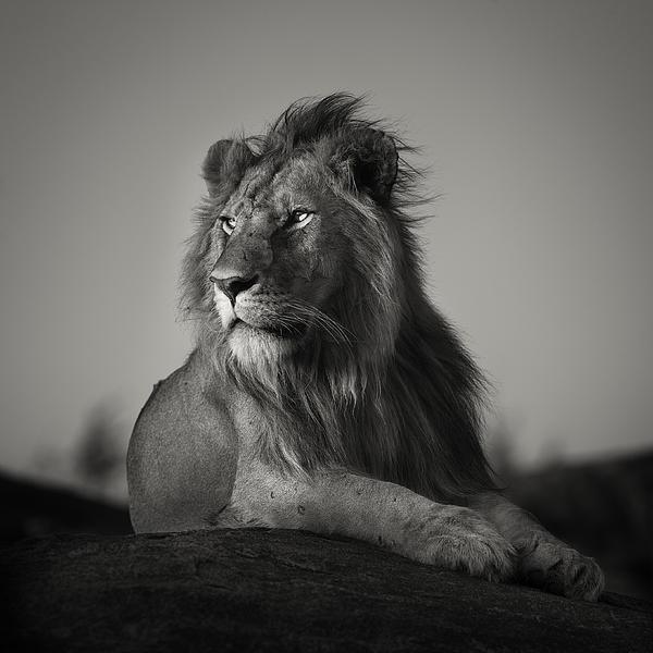 Pekka Jarventaus - Nomad Lion