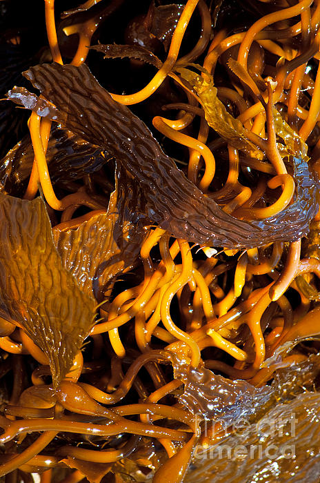 Noodles Of The Sea Print by Gwyn Newcombe