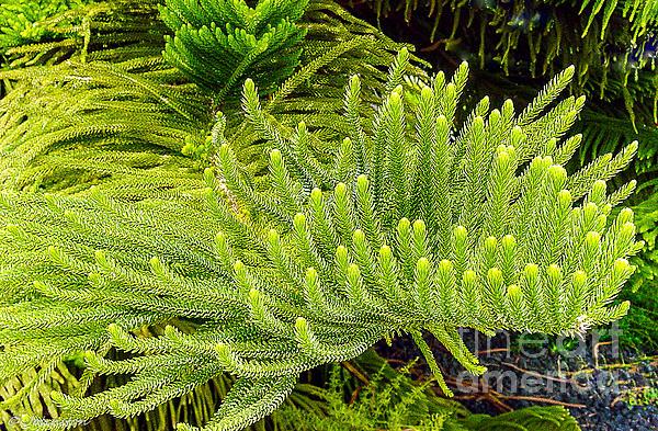 Norfolk  Island  Pine In California Print by  Bob and Nadine Johnston