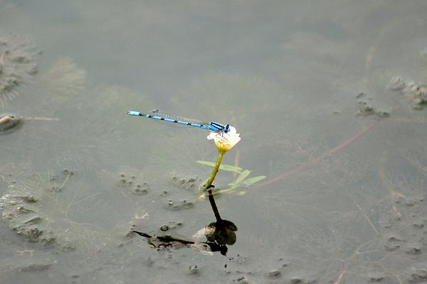 Karen Silvestri - Northern Bluet